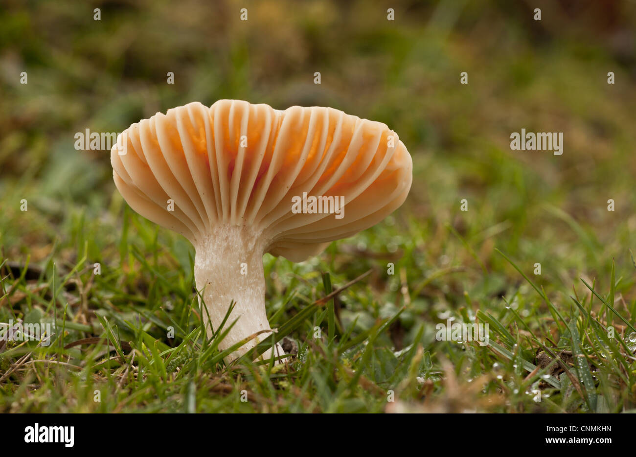 Meadow Waxcap Hygrocybe pratensis fruiting body growing in old grazed grassland Emery Down New Forest Hampshire - Stock Image