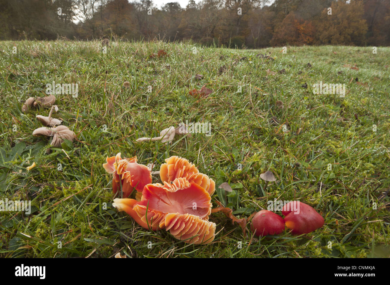 Scarlet Waxcap Hygrocybe coccinea fruiting bodies growing old grazed grassland habitat Emery Down New Forest Hampshire - Stock Image