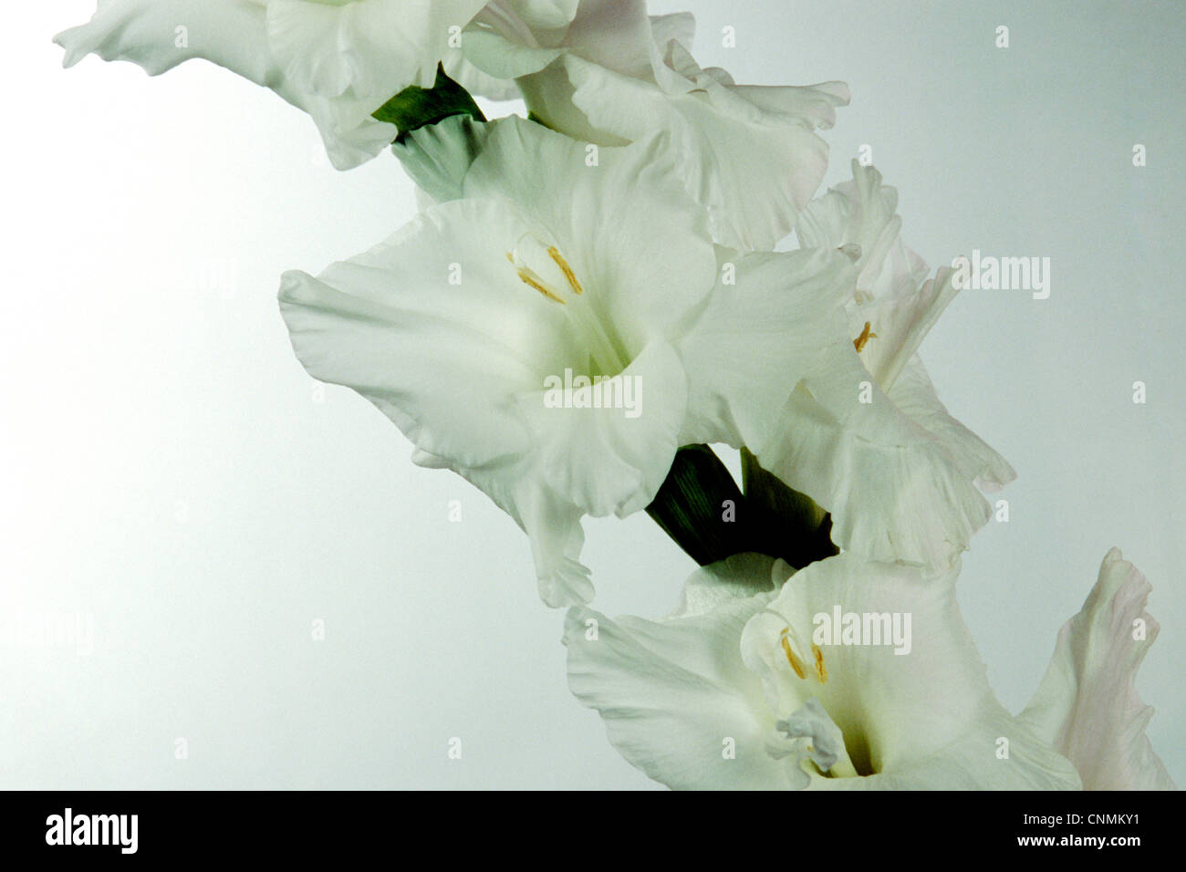 Close up white gladiolus flowers stock photos close up white white gladiolus flowers stock image mightylinksfo