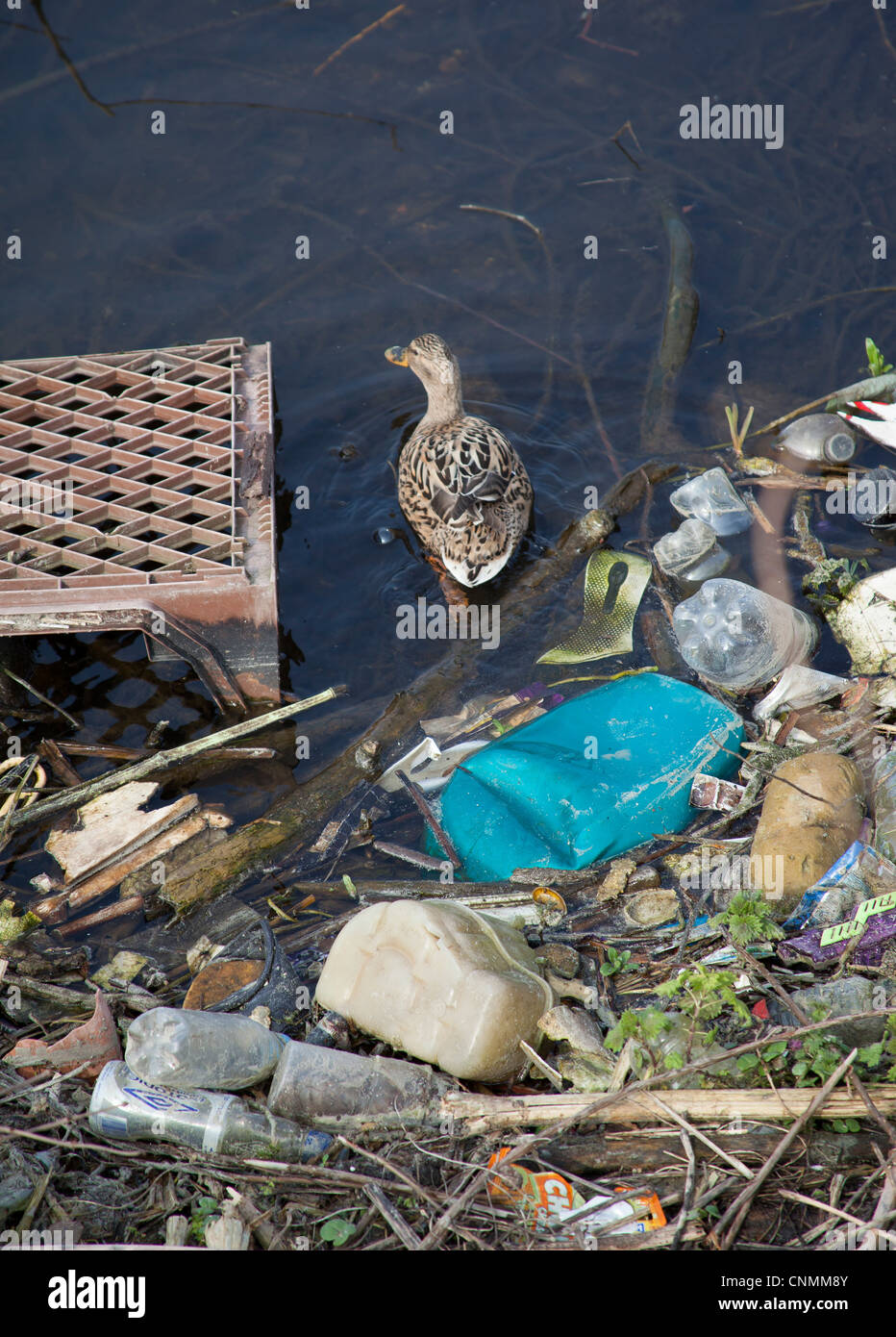Mallard swimming through river pollution on the River Trent Nottingham. Plastic bottle pollution in a river. Stock Photo