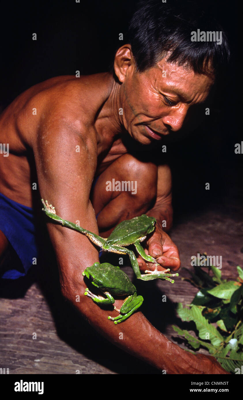 Matsés Indian man collecting frogs to extract 'sapo' frog poison used as medicine and type of stimulant. - Stock Image