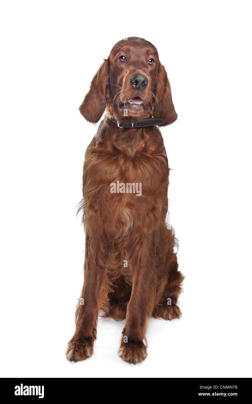 Irish setter hound in front of a white background Stock Photo