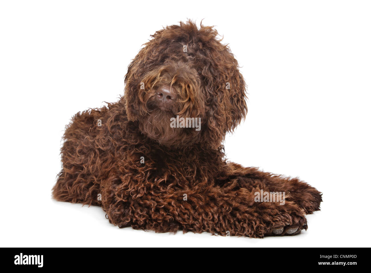 Brown Labradoodle in front of a white background - Stock Image