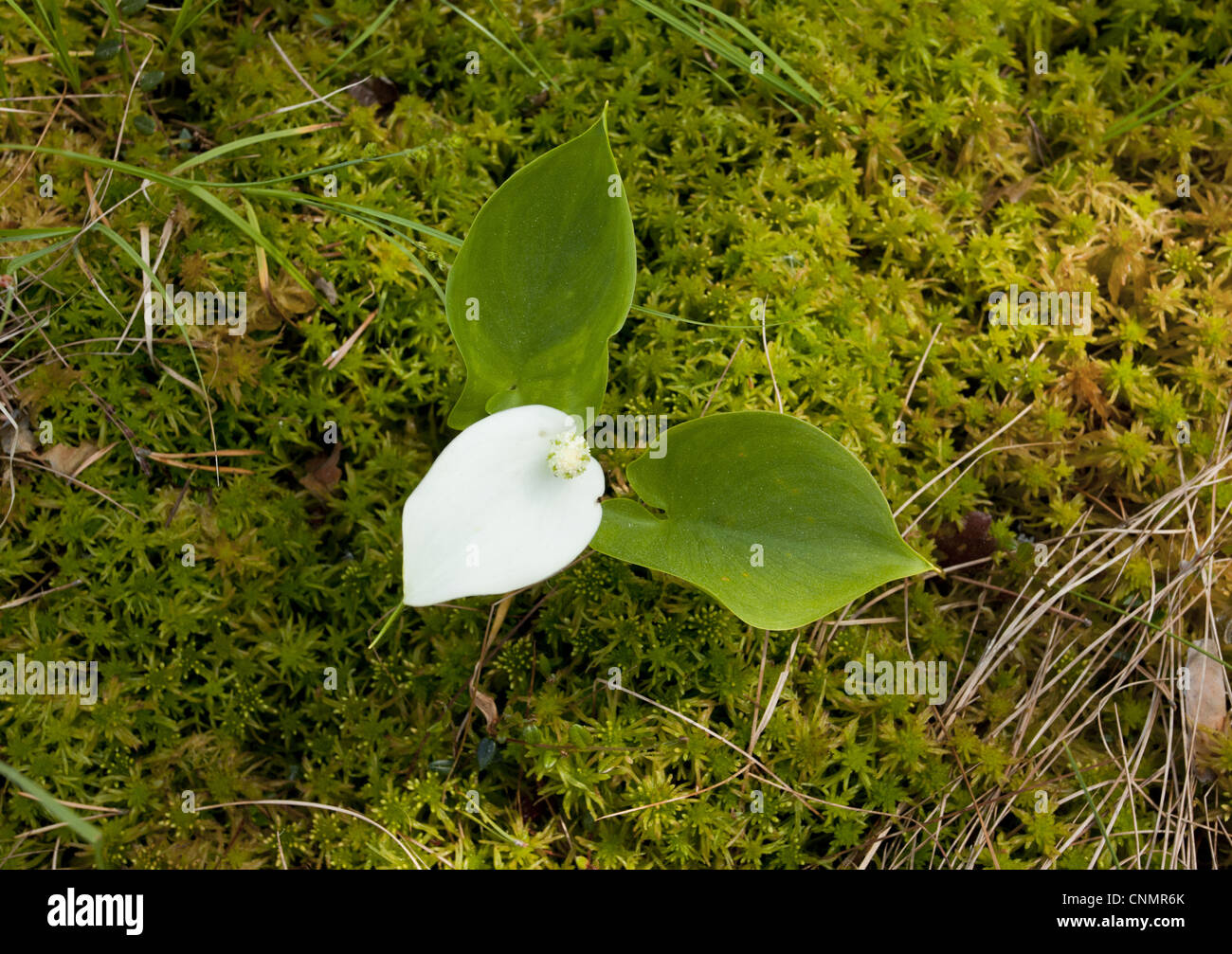 Bog Arum (Calla palustris) flowering, growing in bog, Meenikunno Maastikukaitseala Reserve, Estonia, june - Stock Image