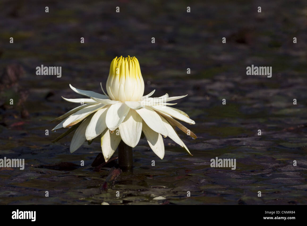 Night Blooming Waterlily Nymphaea Lotus Flower Fully Open In Late