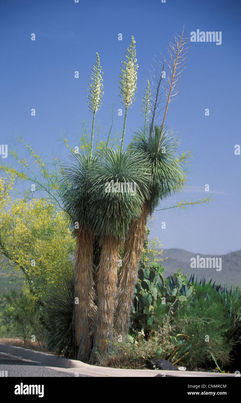 Yucca - Mojave (Yucca shidigera) - Stock Image