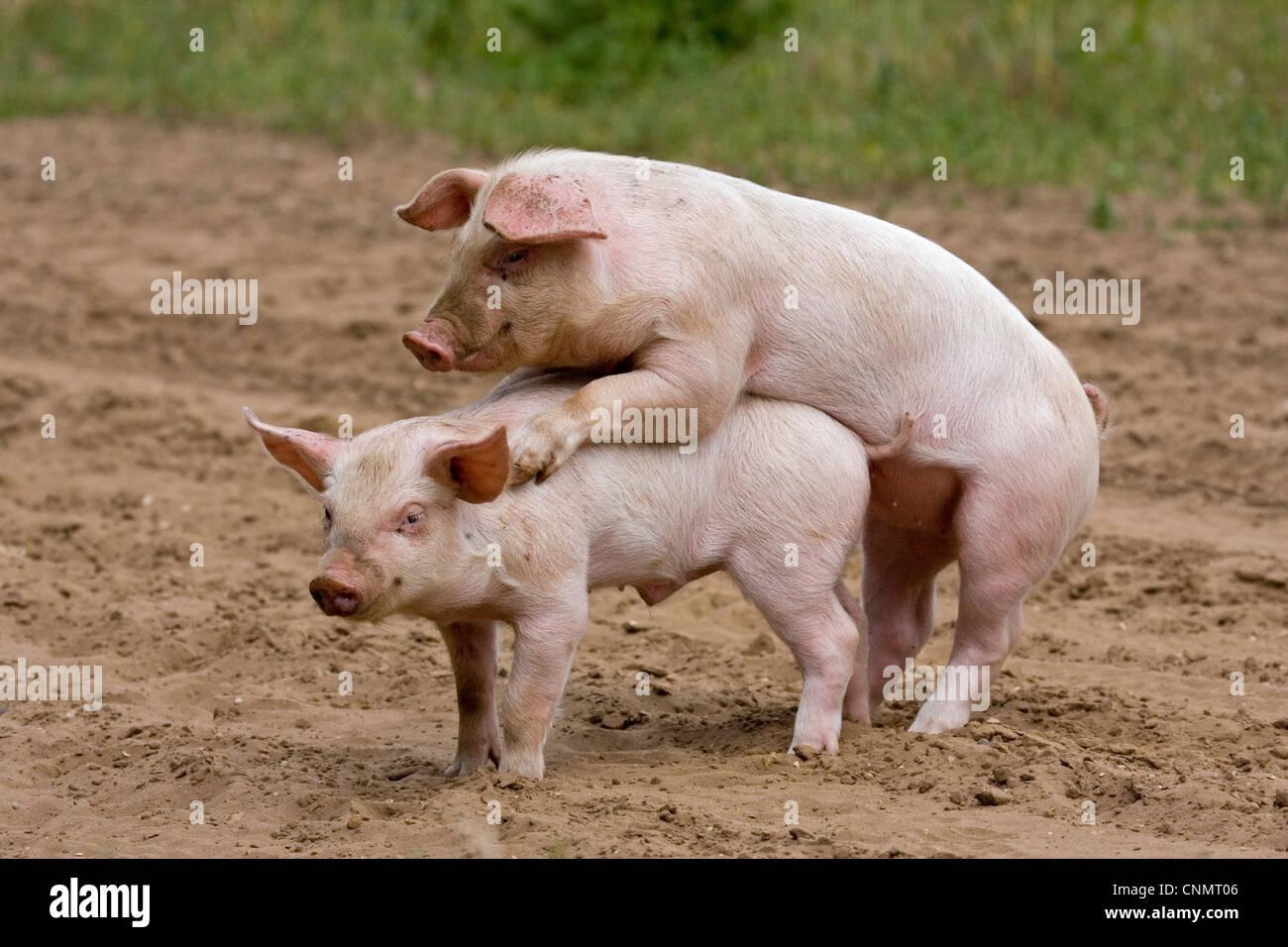 domestic pig large white x landrace x duroc freerange piglets