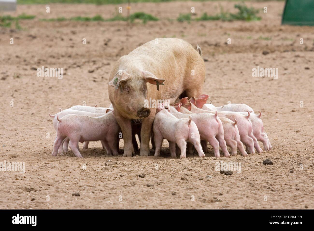 Gilt Swine