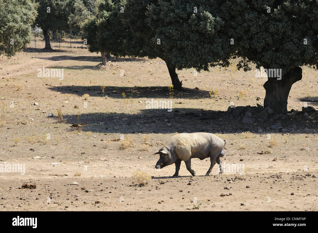Domestic Pig boar walking degraded dehesa habitat since fighting bulls demand lowered breeders moved pig breeding Stock Photo