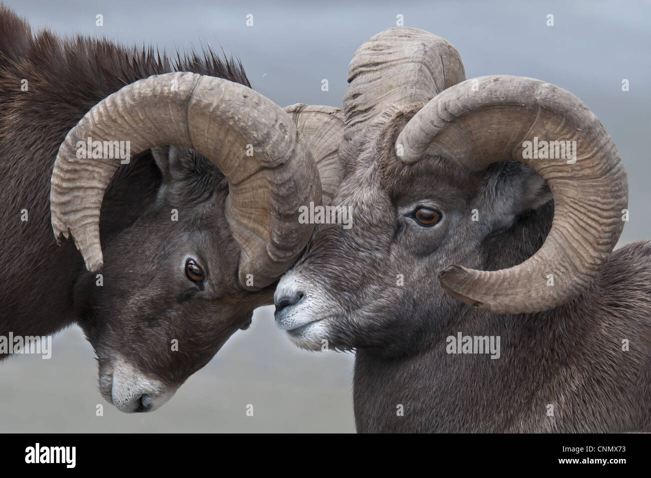 Bighorn Sheep Ovis Canadensis Two Adult Males Butting Horns Close Up Of Heads Jasper NP Alberta Canada October