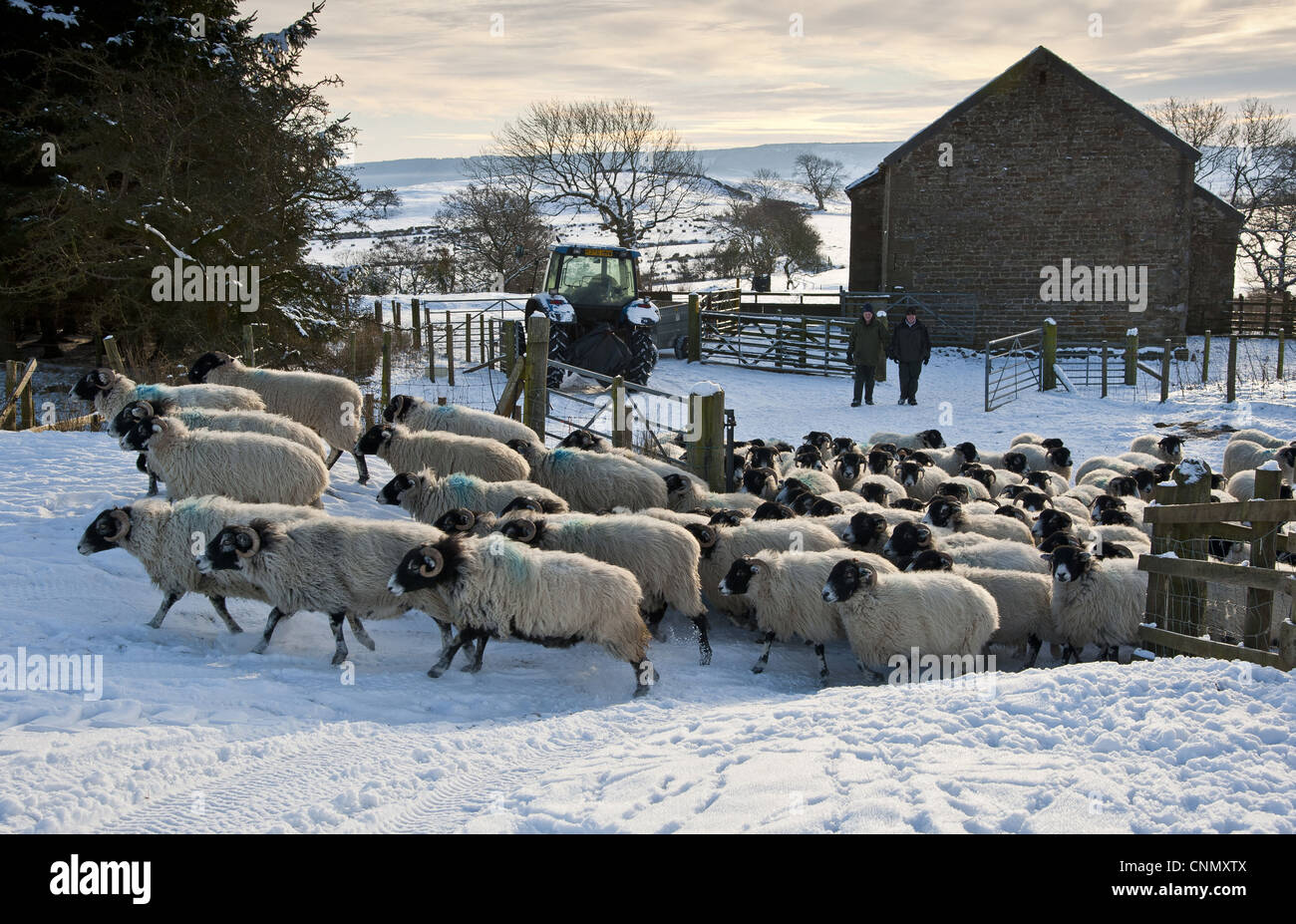 Domestic Sheep Swaledale ewes flock moved snow covered pasture tractor farmers stone barn Whitewell Lancashire England - Stock Image