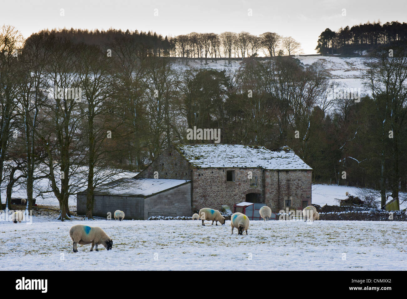 Domestic Sheep Flock Grazing In Snow Covered Pasture Stone Barn Trees Background Near Slaidburn Lancashire England December