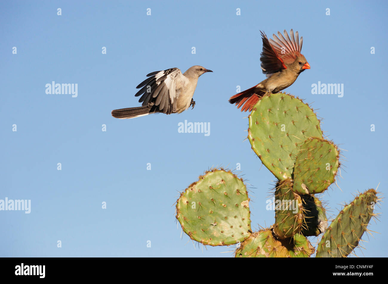 Northern Mockingbird (Mimus polyglottos), adult and Northern Cardinal (Cardinalis cardinalis) landing on Cactus, - Stock Image