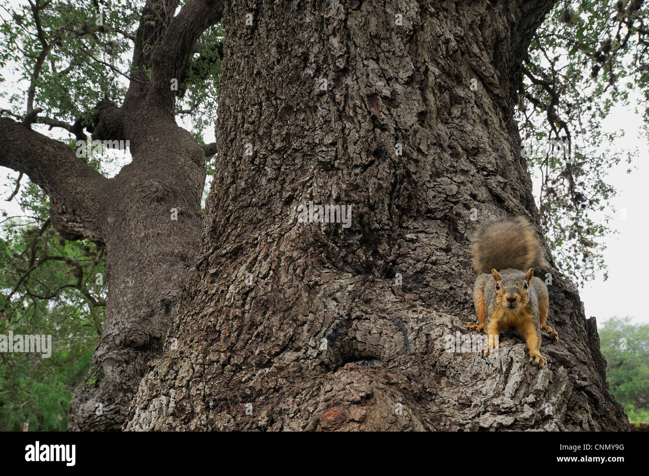Eastern Fox Squirrel (Sciurus niger), adult on Live Oak (Quercus virginiana), Dinero, Lake Corpus Christi, South - Stock Image