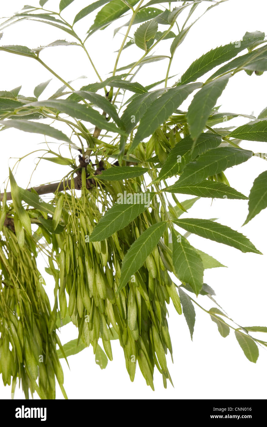 branch of the ash tree with fruit on white backgroud - Stock Image