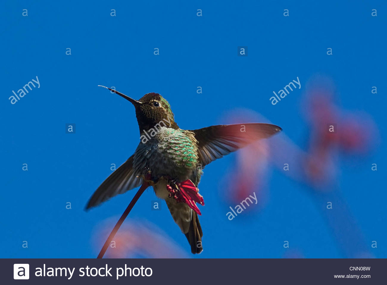 An Anna's hummingbird (Calypte anna) sticks its tongue out as it lands on a maple tree in early spring. - Stock Image