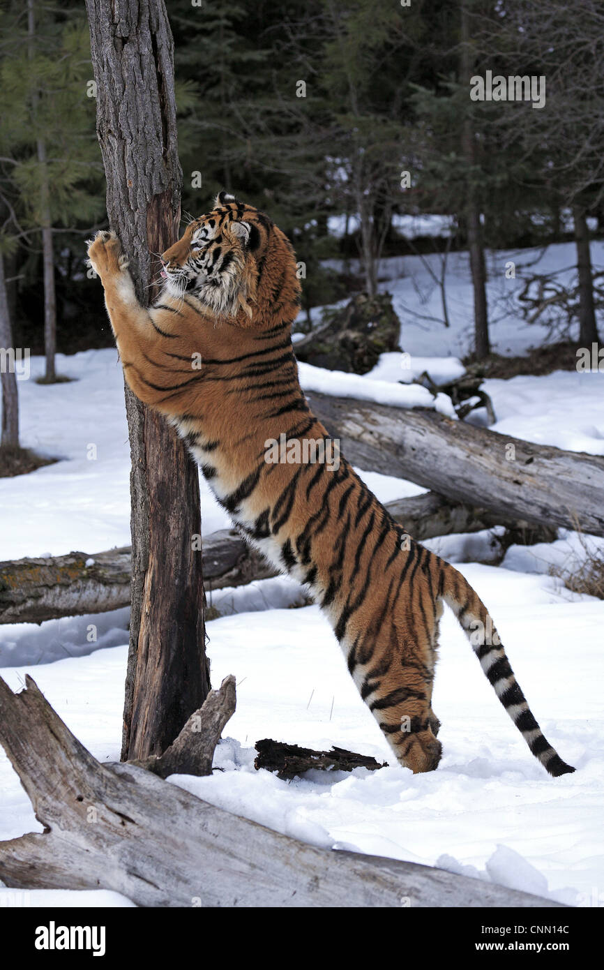 Siberian Tiger (Panthera tigris altaica) immature male, scratching tree trunk in snow, winter (captive) - Stock Image