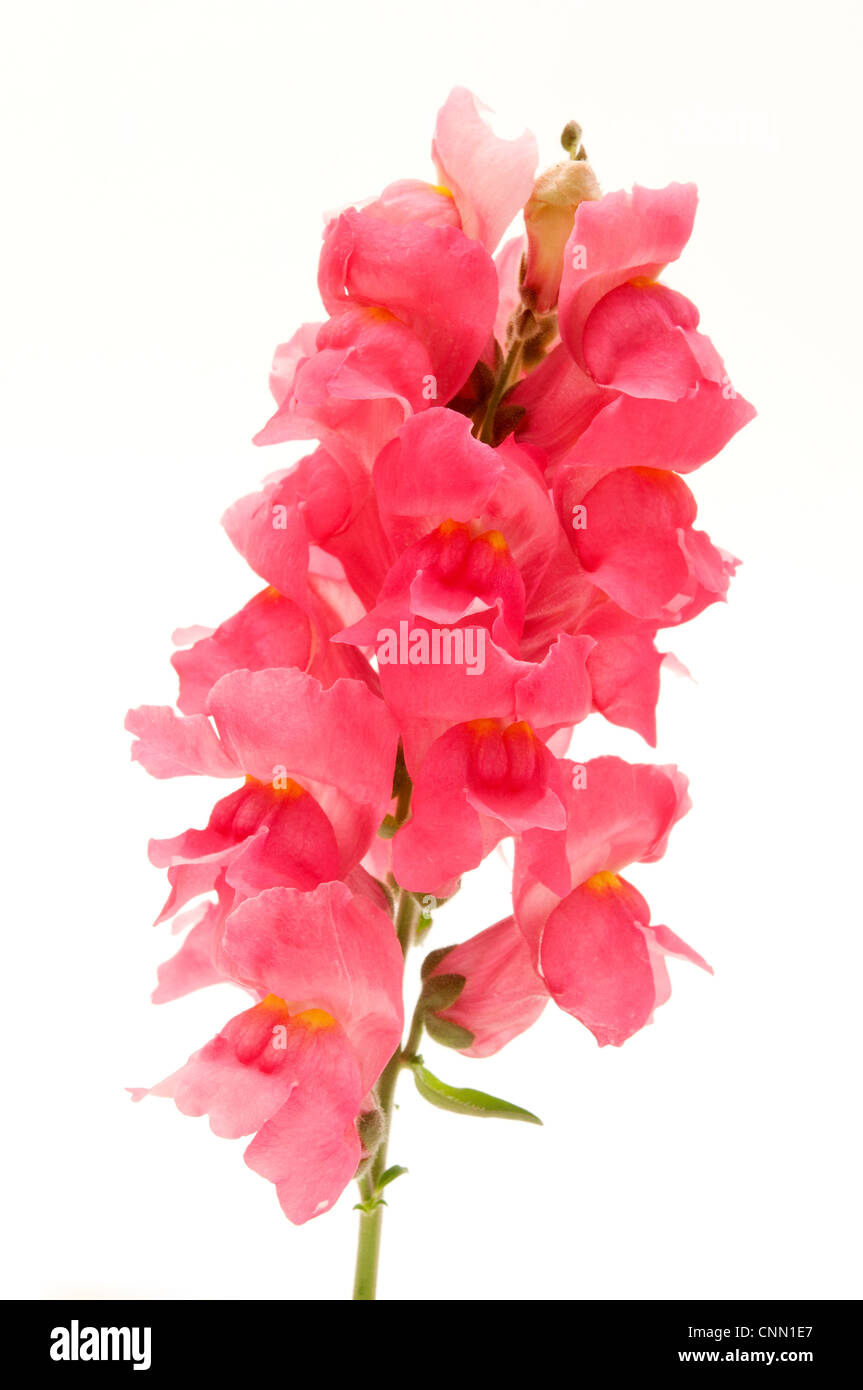 Common Snapdragon on a white background Stock Photo