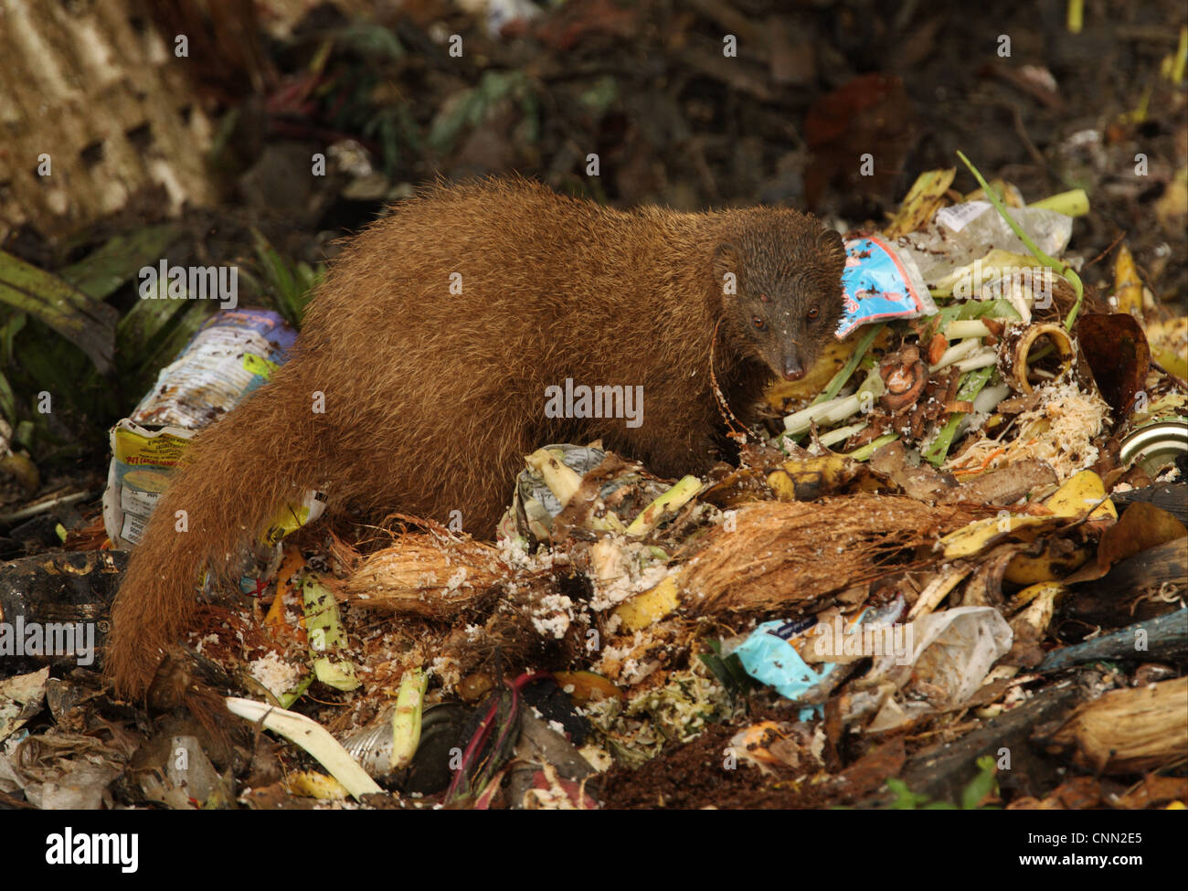 indian brown mongoose (herpestes fuscus) adult, feeding, scavenging