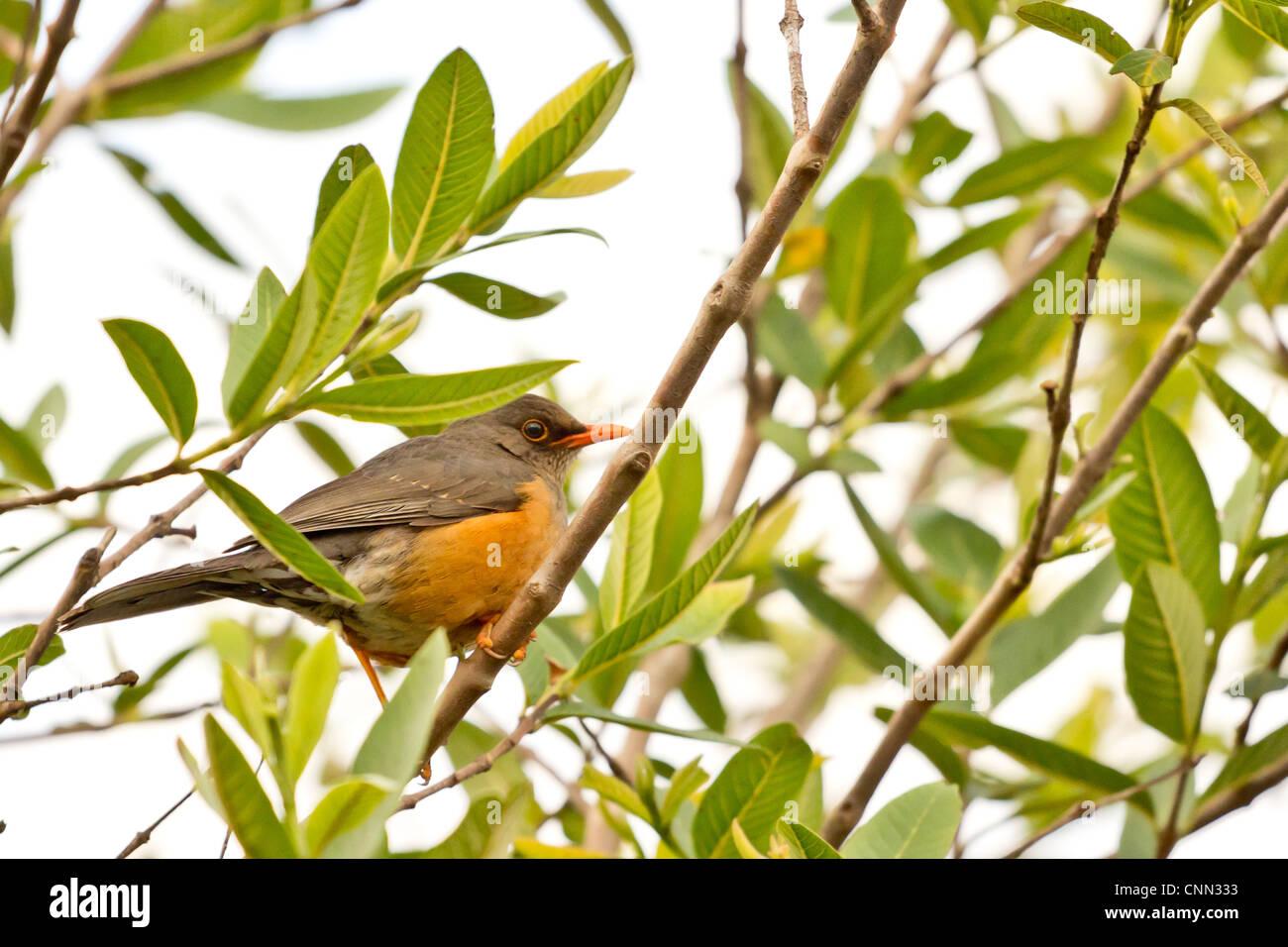Beautilful bird with orange beak on a tree - Stock Image