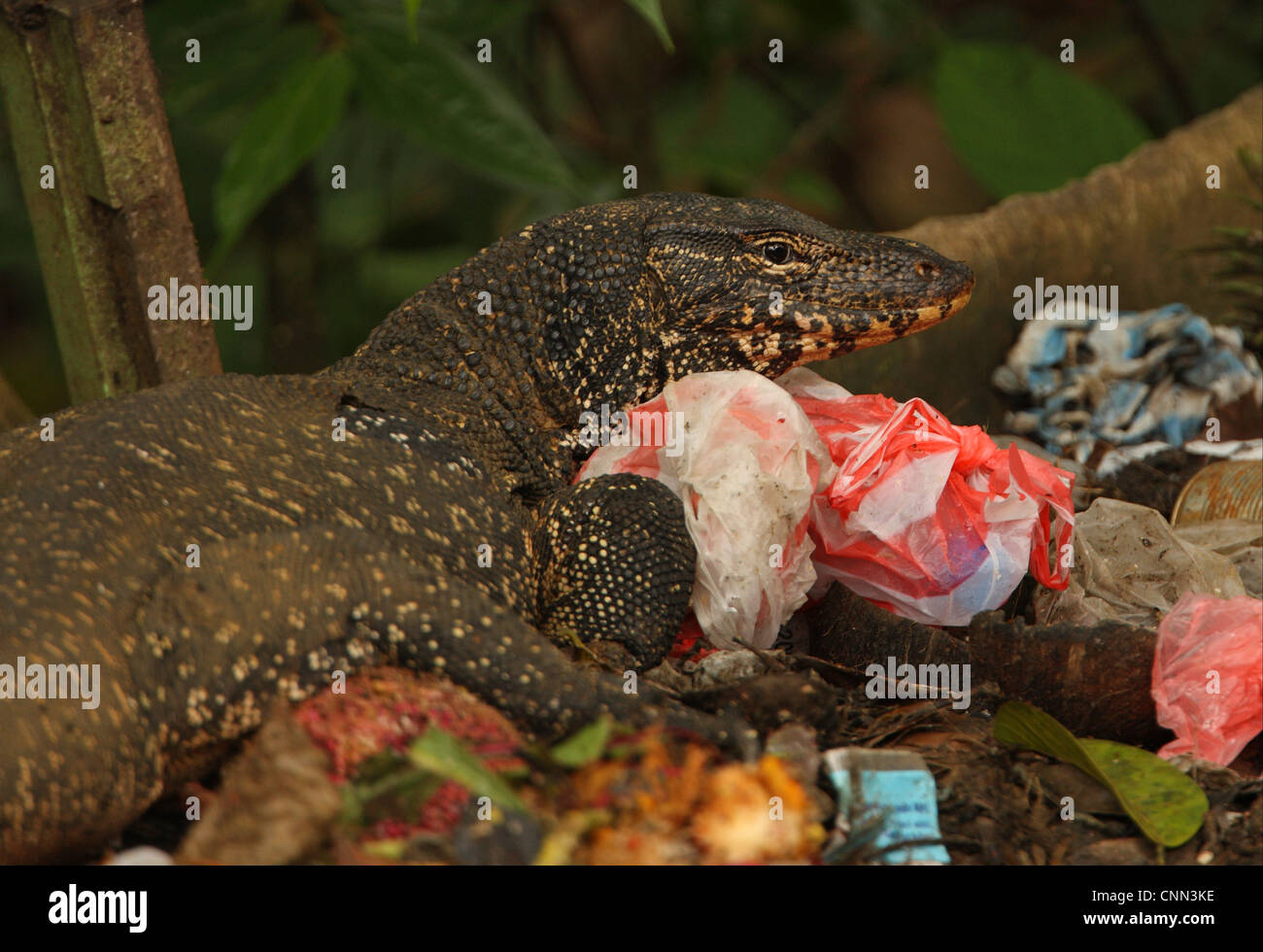 asian water monitor (varanus salvator salvator) 'kabaragoya', adult