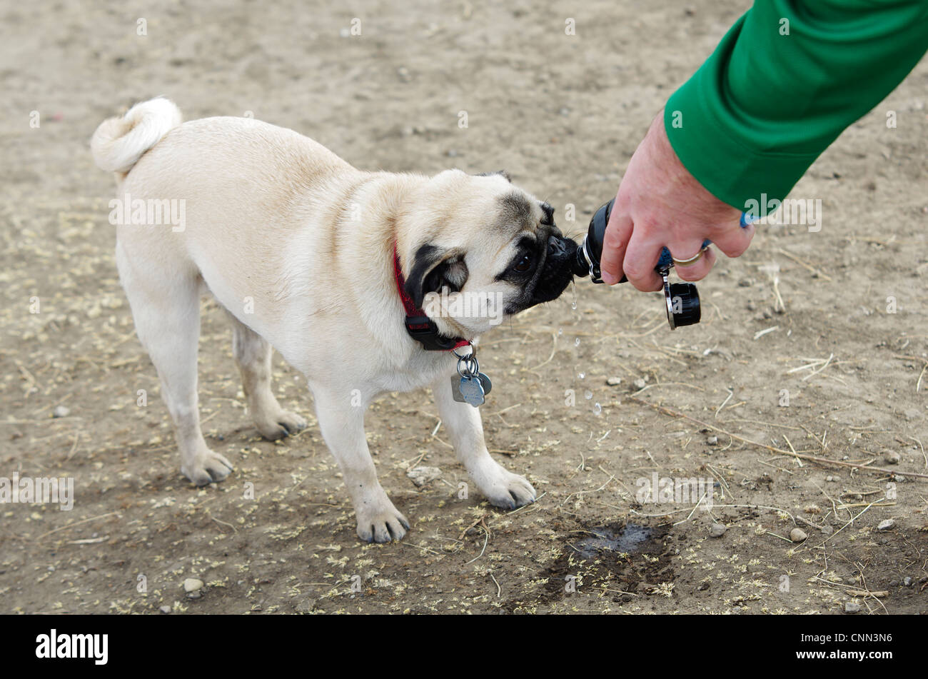 A fawn coloured Chinese pug drinks from its water bottle. - Stock Image