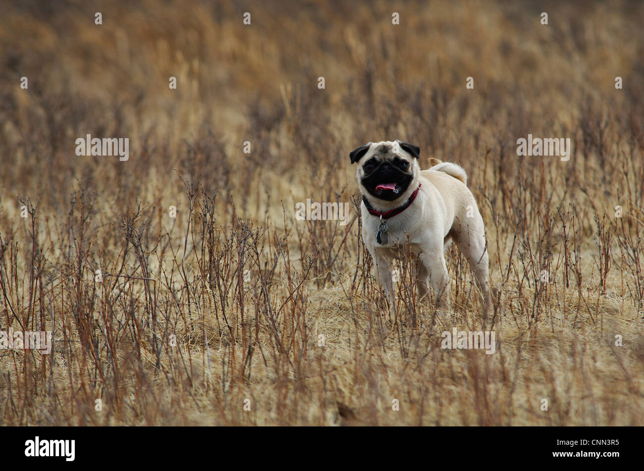 A fawn coloured pug dog in the weeds at the dog park. - Stock Image