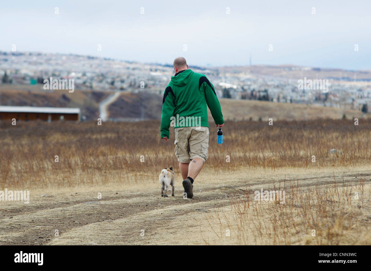A 1 year old fawn coloured pug walking with its owner in an urban dog park. - Stock Image