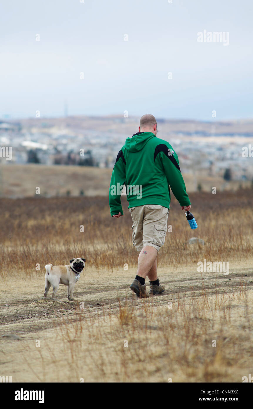 A 1 year old fawn coloured pug looking back at the camera while walking with its owner. - Stock Image