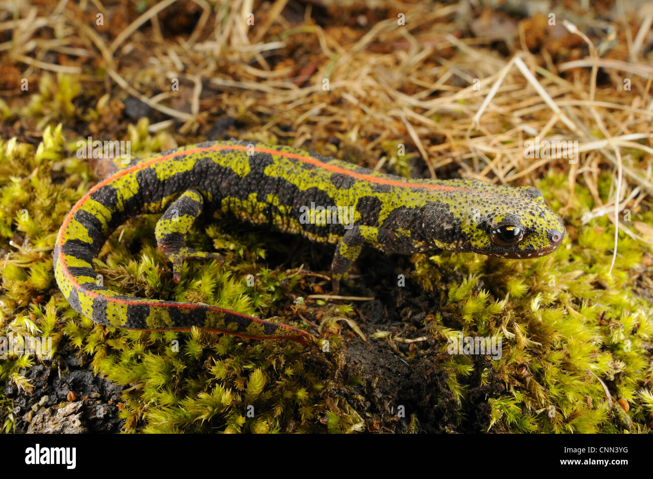 Marbled Newt (Triturus marmoratus) adult, terrestrial phase, walking on moss, Spain, september Stock Photo