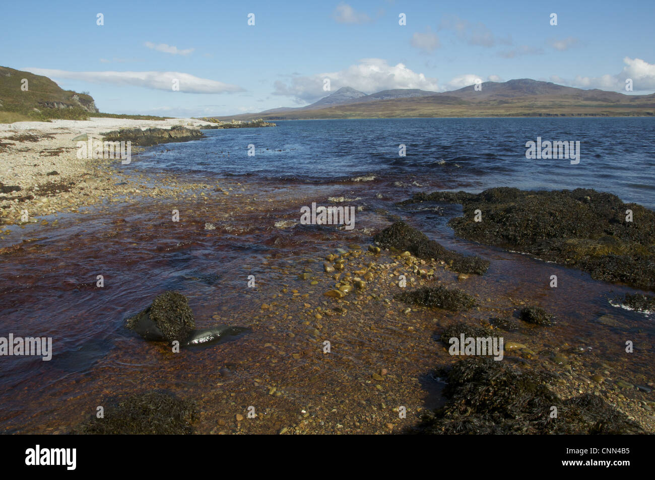Peat stained river flowing into coastal strait, Glen Logan, Islay Sound, Islay, Inner Hebrides, Scotland, september - Stock Image