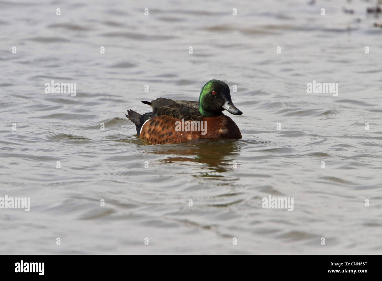 Chestnut Teal - male (photographed at minsmere bird reserve March 2010, an escaped bird - Stock Image