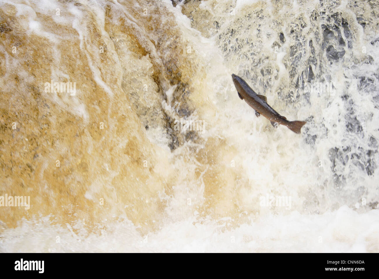 Atlantic Salmon Salmo salar adult leaping up cascade travelling upstream spawning ground Stainforth Force River - Stock Image