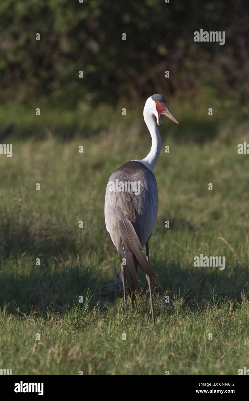 Wattled Crane near Kwara Bostwana. An endangered species. - Stock Image