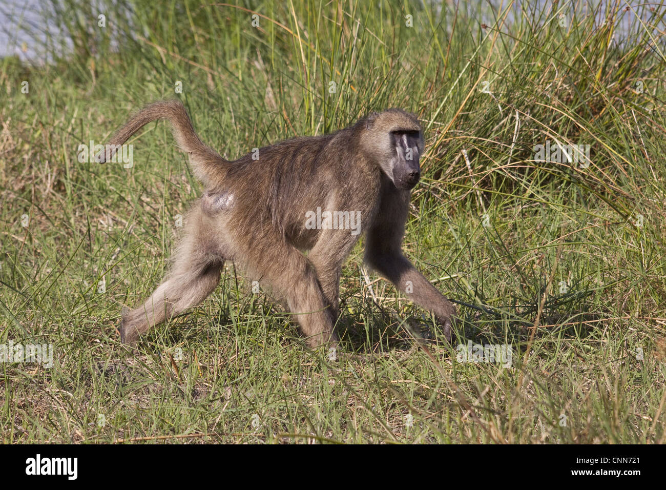 Chacma Baboon is found in southern Africa, ranging from South Africa north to Angola, Zambia, and Mozambique. - Stock Image