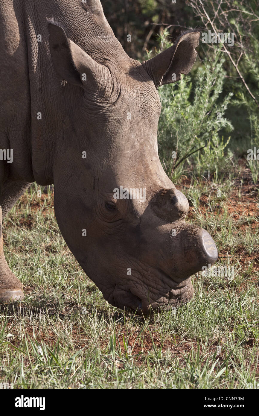 White Rhino showing horns removed, an anti poaching aid - Stock Image