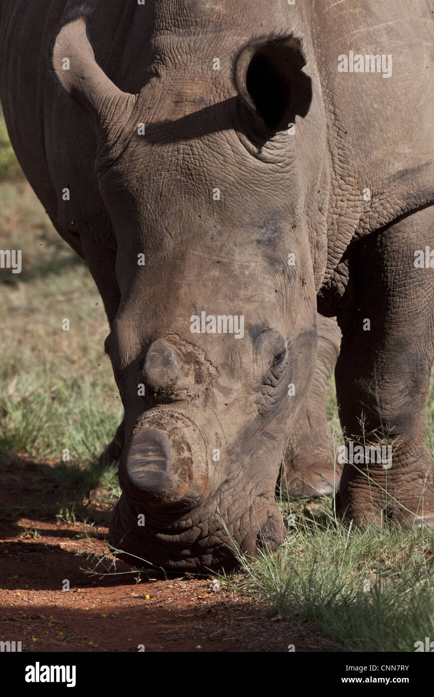White Rhino with horns removed as an anti poaching measure - South Africa - Stock Image
