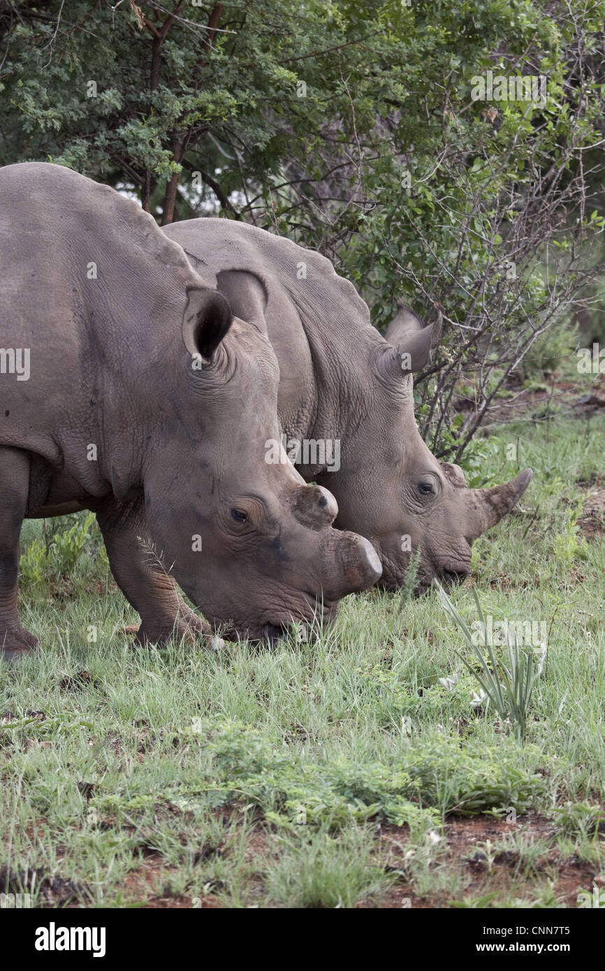 White Rhino one with horns removed as an anti poaching measure - South Africa - Stock Image