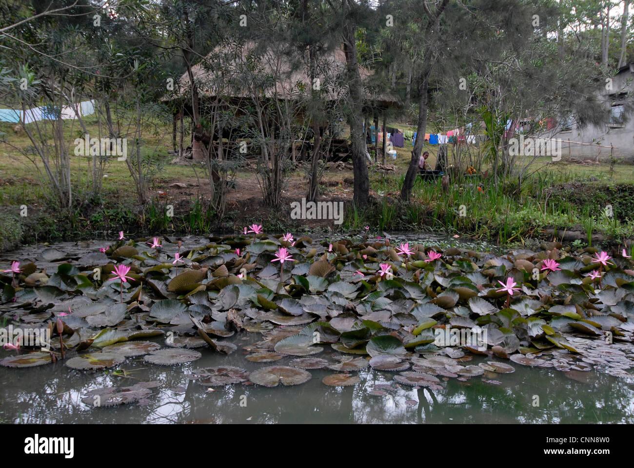Water Lilies growing in the Ossu area of Timor Leste Stock Photo