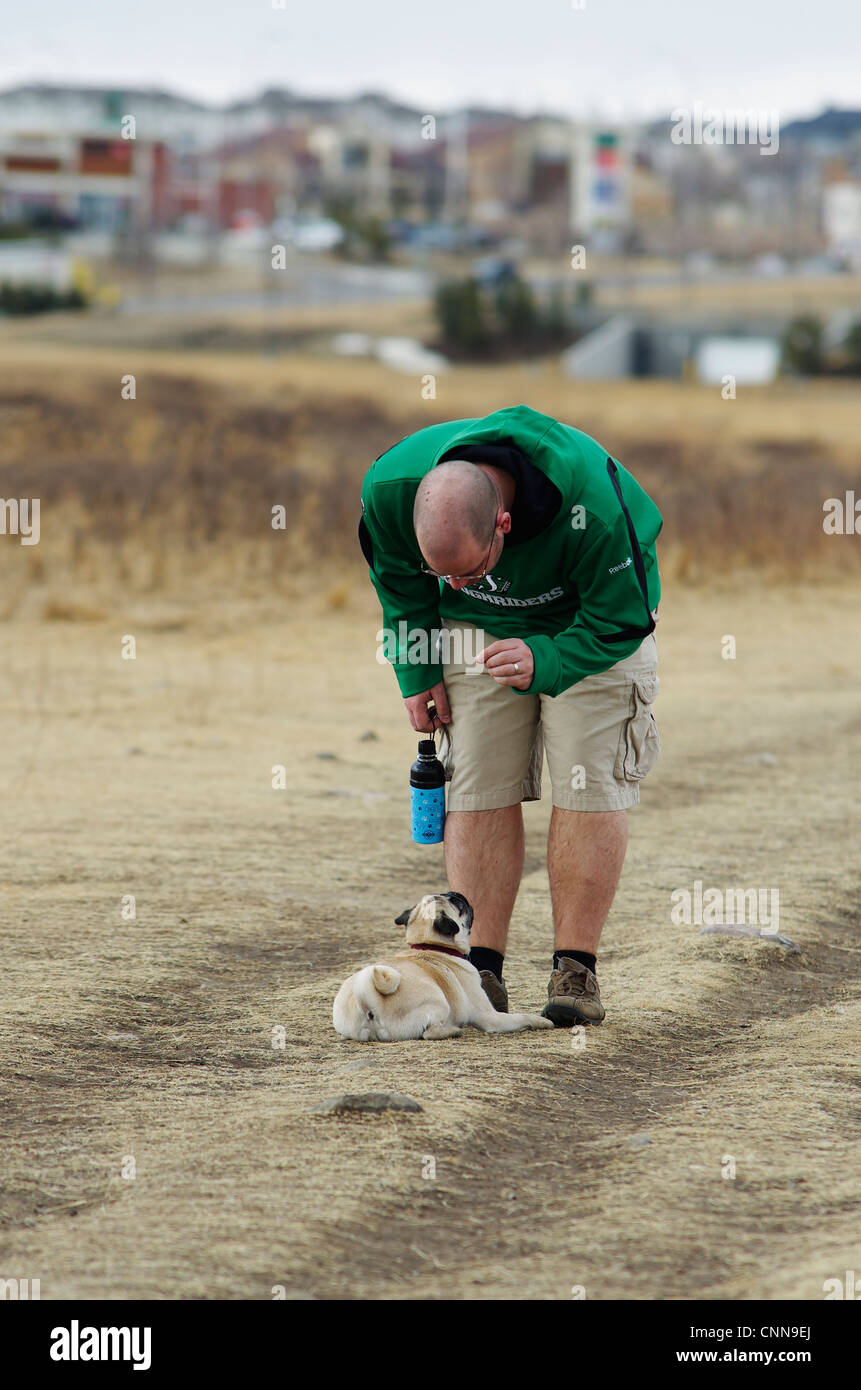 A 1 year old fawn coloured pug obediently lays down for a treat at the dog park, in an urban setting. - Stock Image