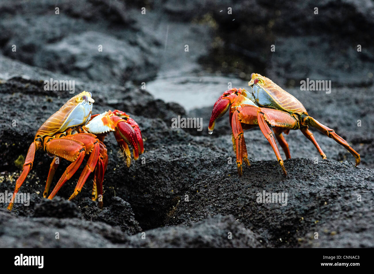 Sally Lightfoot Crabs Galapagos Ecuador - Stock Image