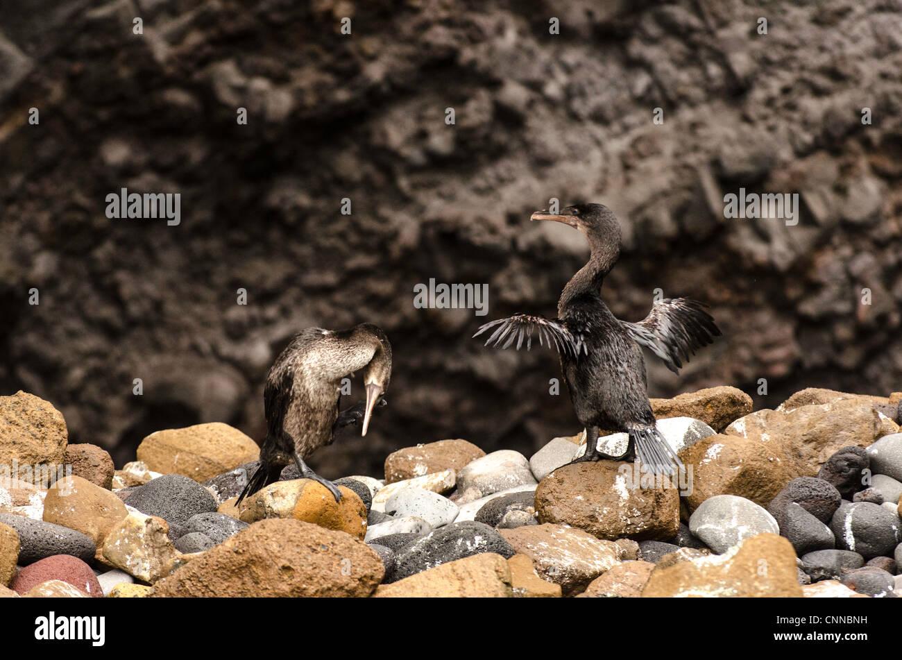 Flightless Cormorant (Phalacrocorax harrisi) Galapagos Islands Ecuador - Stock Image
