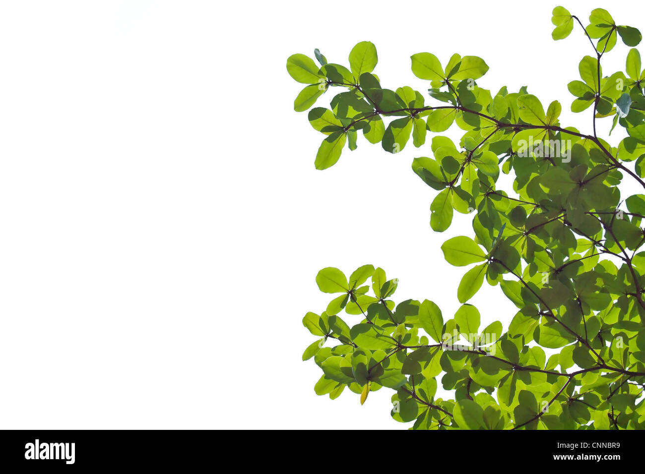 Green leafs isolate on white - Stock Image