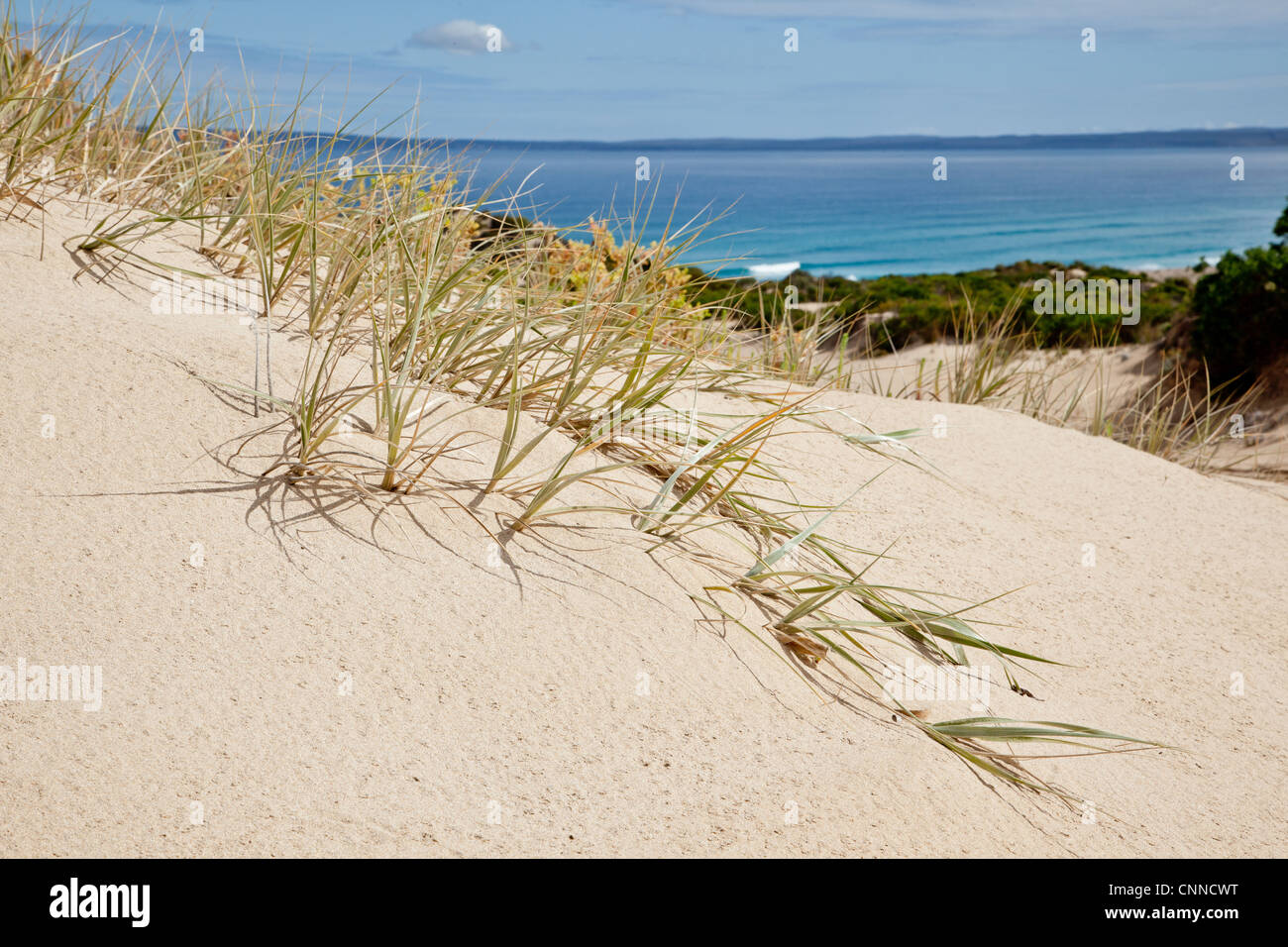Dune grass Eyre Peninsula South Australia - Stock Image