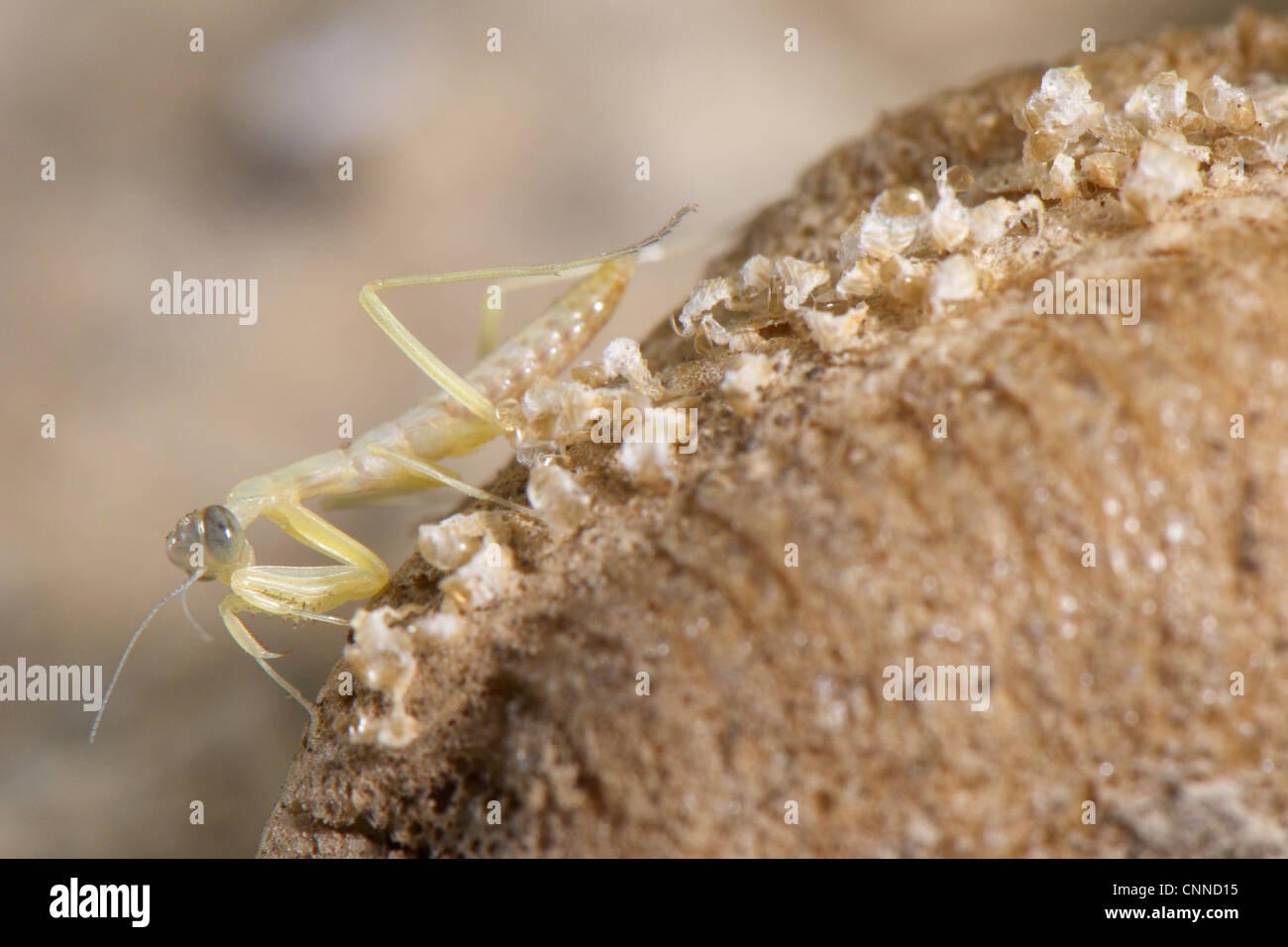 European Praying Mantis Mantis Religiosa Baby Just Hatched