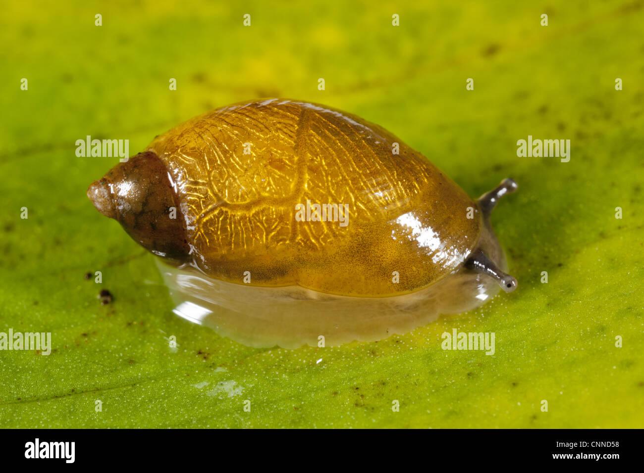 Pfeiffer's Amber Snail (Succinea pfeifferi) adult, on submerged leaf, Arthog Bog, Gwynedd, North Wales, august Stock Photo