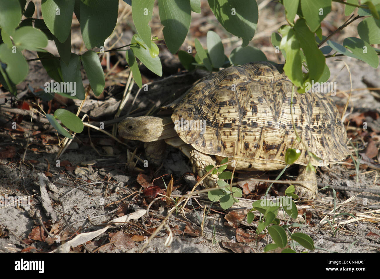 Leopard or Mountain Tortoise a very common species in southern Africa - Stock Image