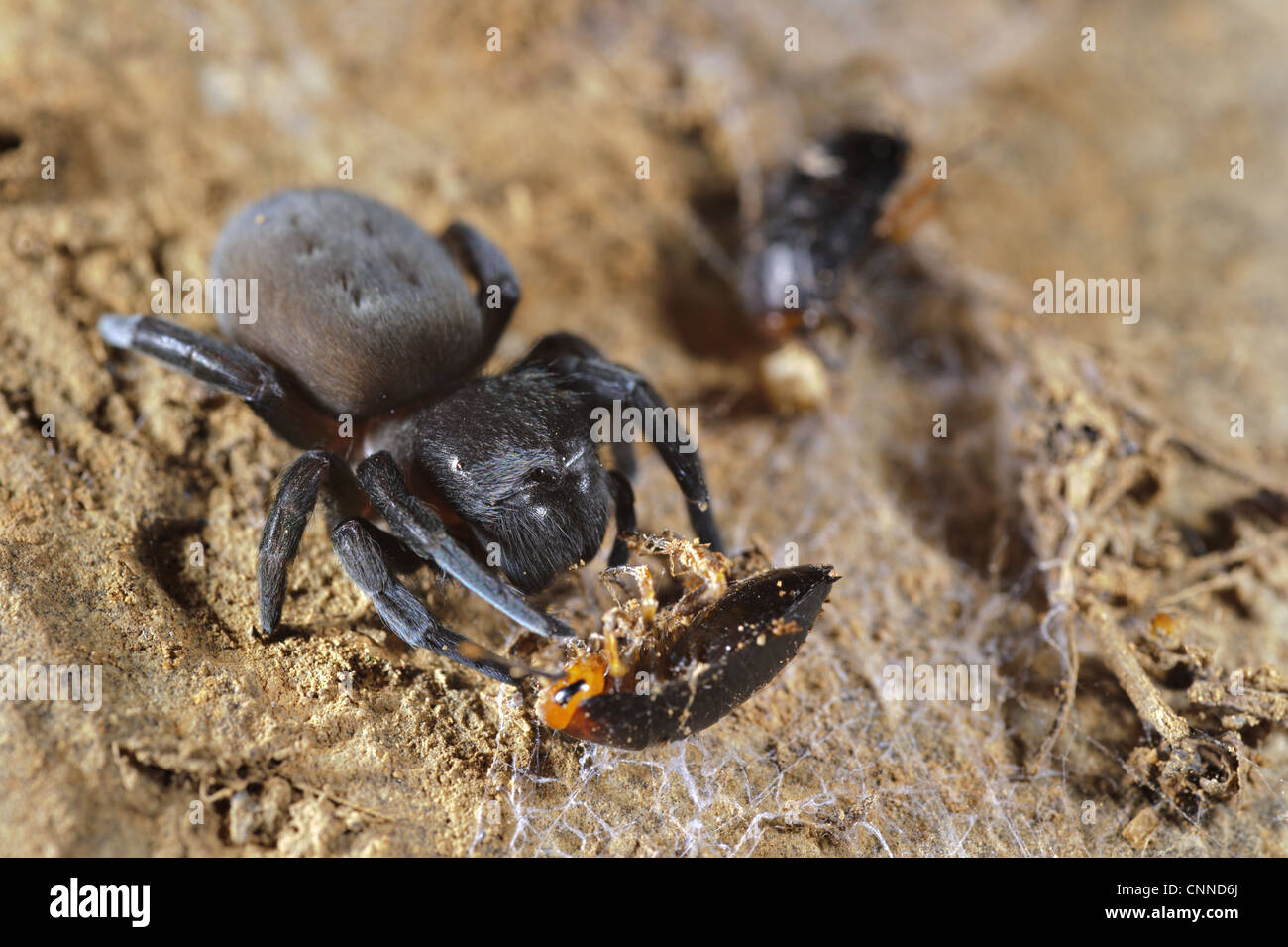 Velvet Spider (Dresserus sp.) adult, feeding on cockroach prey caught in cribellate (woolly silk), Karoo Region, - Stock Image