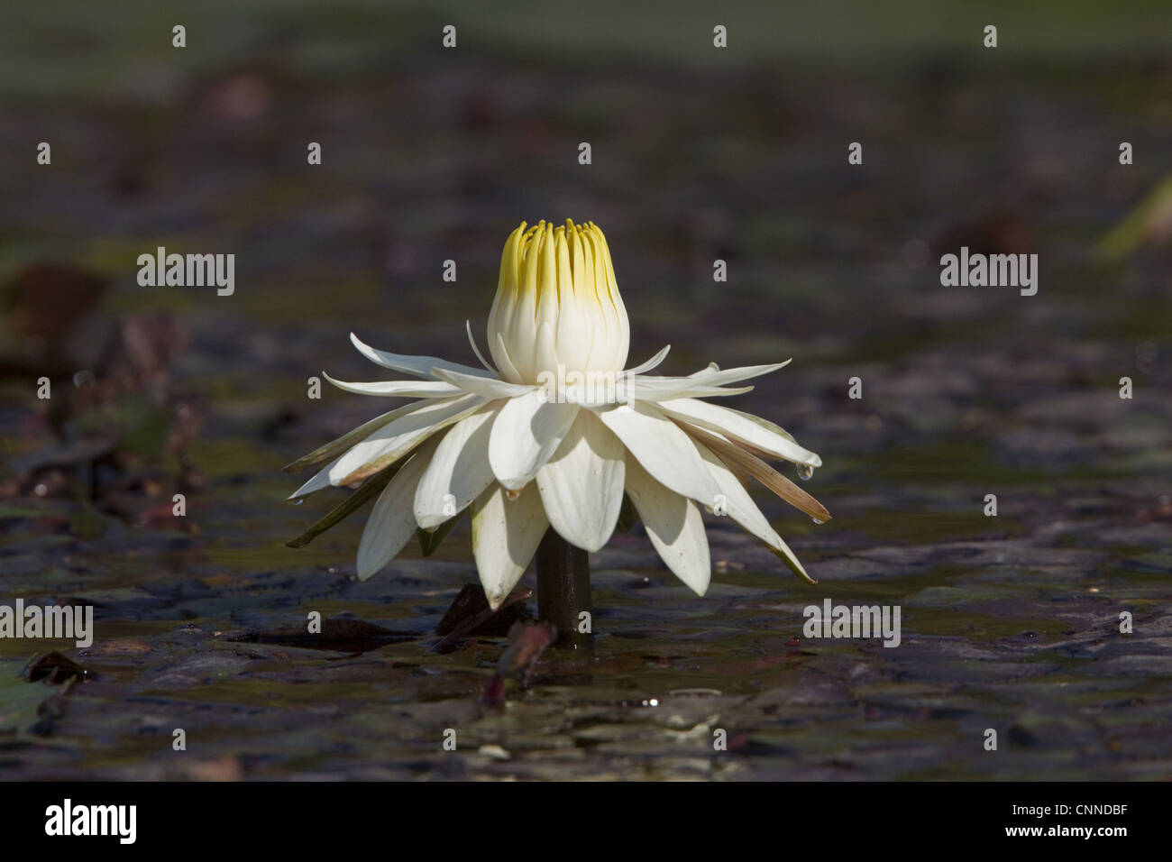 Nymphaea Lotus White Water Lily White Lotus Which Night Blooming