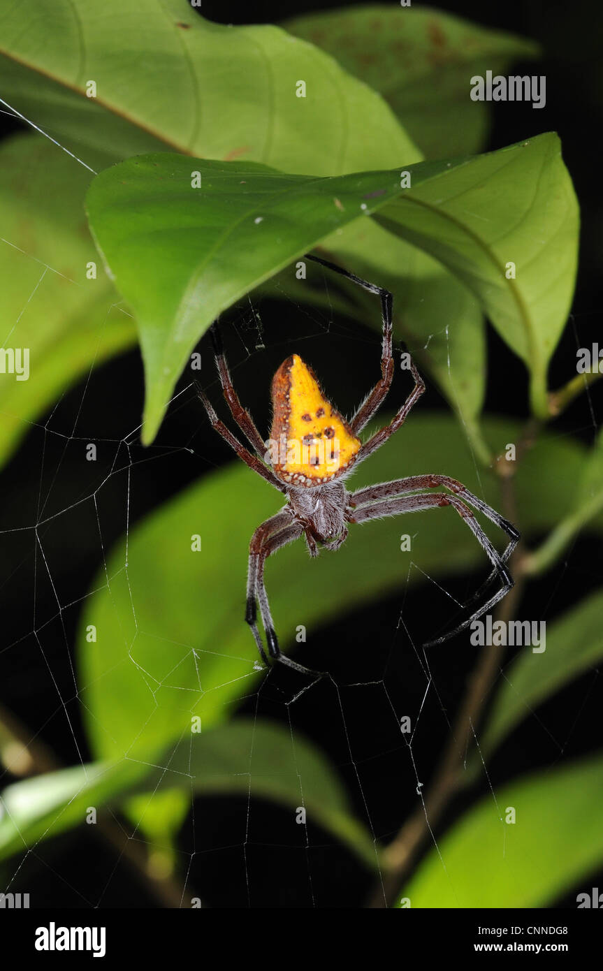 Golden-spotted Orb-weaver (Eriophora nephiloides) adult female, in web under forest vegetation, Iwokrama, Guyana - Stock Image